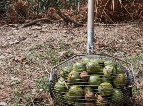 Walnut picking in Vamvakou… with Strigles